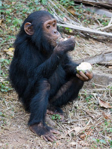 Chimpanzee Sitting and Eating -Yep