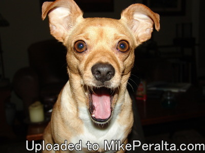 Happy Chihuahua -Smiling happy Chihuahua! :)
