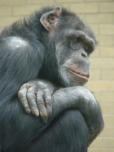 Contemplative Chimp -Chimp thinking